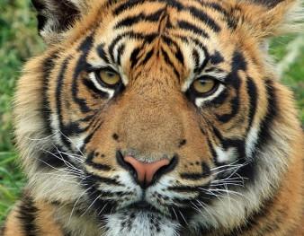 Tigre, l'un des carnivores présentés au Zoo de Mulhouse