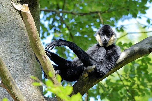 Gibbon à favoris blancs du Nord, espèce protégée par le Zoo de Mulhouse